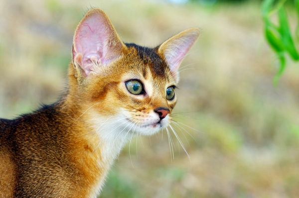 Abyssinian Cat For Sale Nyc