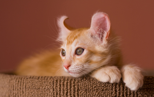 An orange tabby cat listening.