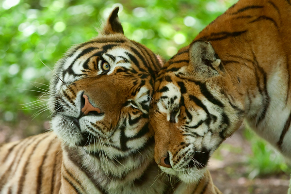 Asian Tiger Population Is Starting to Rebound - Catster