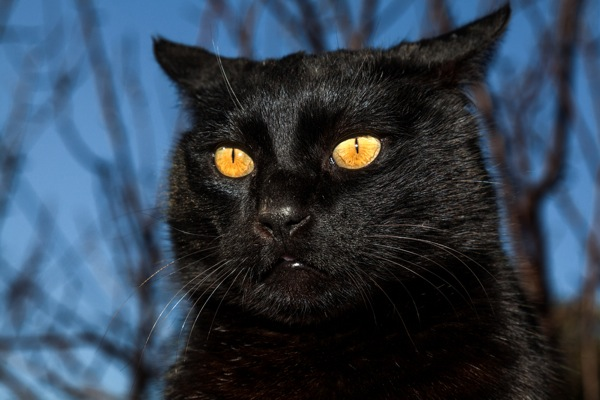 Black cat with yellow eyes.