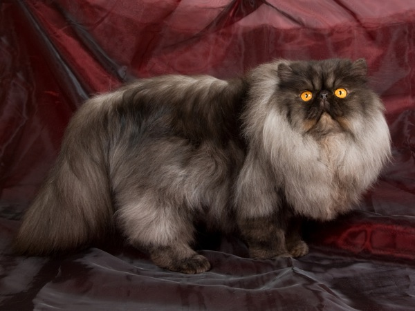 cat genetics facts on 6 unusual coat colors and patterns catster