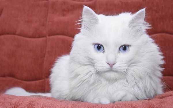 Black And White Kittens With Blue Eyes Wallpaper 1 Jpg Text Fluffy Cat Breed
