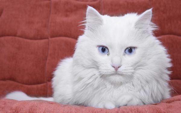 Blue Coat Cat Genes
