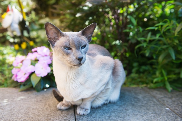 Are There Any Cat Breeds That Just Shouldn't Exist? - Catster