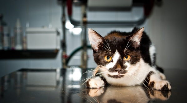 Ask A Vet How Common And Contagious Is Coccidia Catster