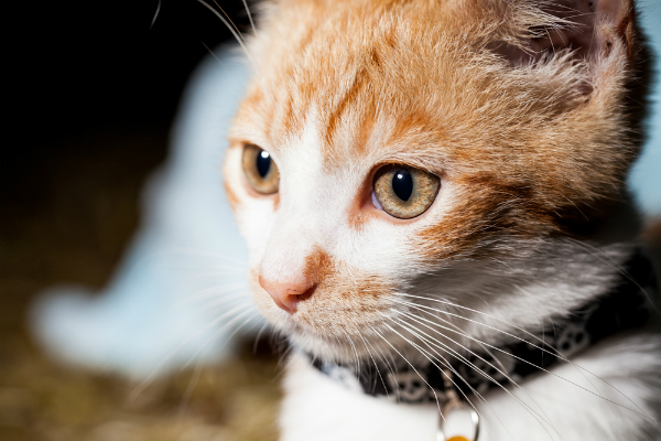An orange and white cat with a collar on.