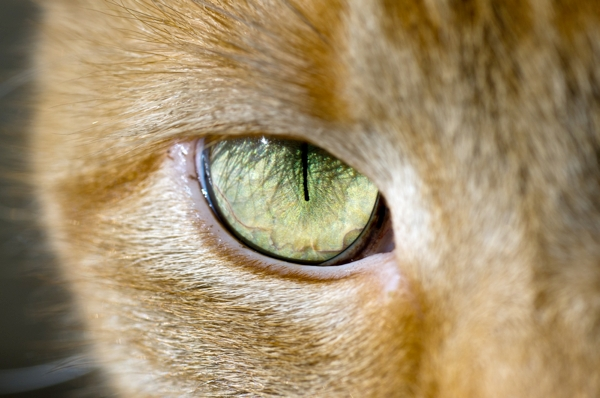 A close up of a cat's green eye and pupil.