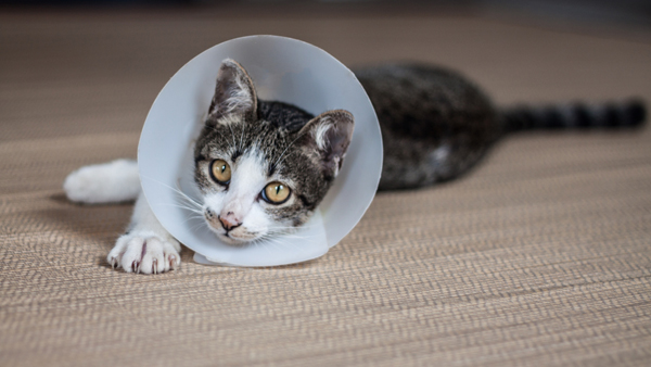 A gray tabby cat with a cone of shame.