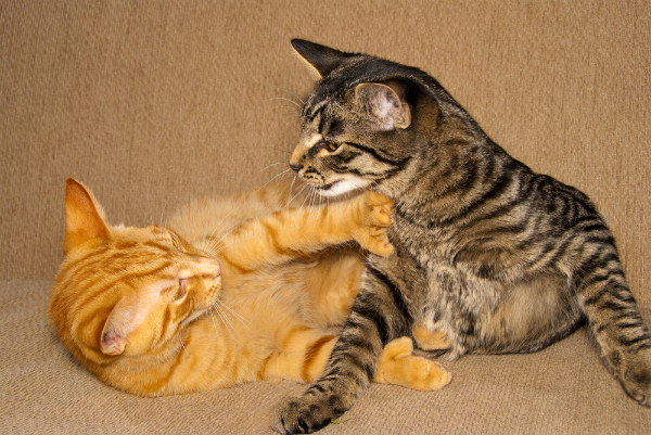 Two cats play fighting.