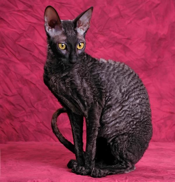 Image result for cornish rex black cat