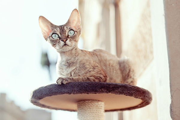 fc771aa9ef 5 Purebred Cat Breeds I d Have a Hard Time Saying No To - Catster