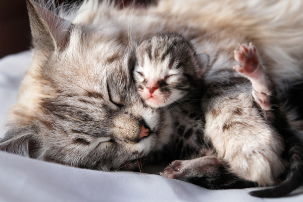 A mom tabby cat and her newborn kitten.
