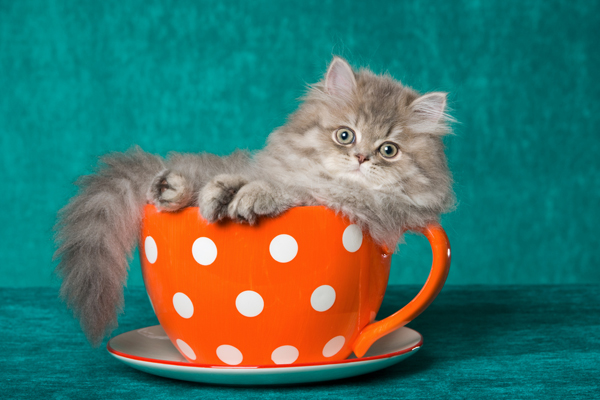 Will Teacup Cats Become a Disastrous Celebrity-Spawned Pet Trend ...