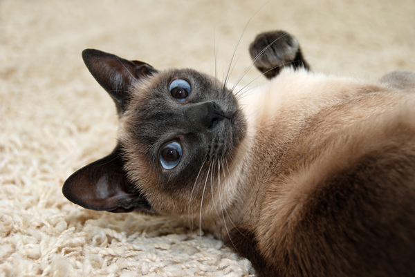 A Siamese cat.