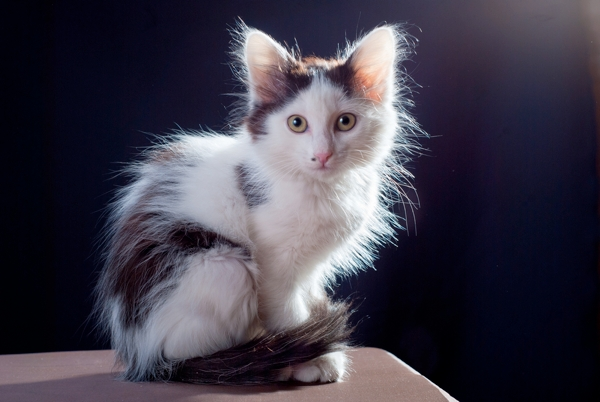 5 Tips For Grooming Long Haired Cats Catster