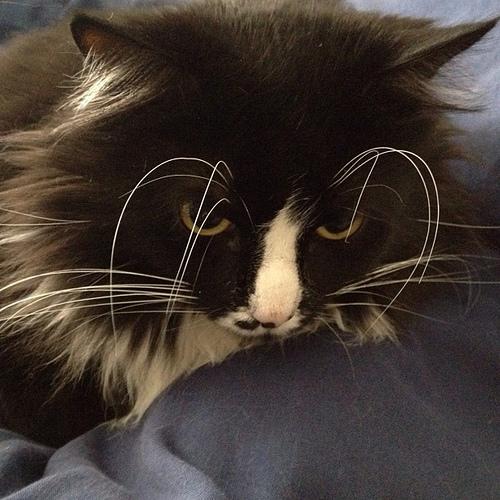 Serious Cat Eyebrows. #cat #kabuki