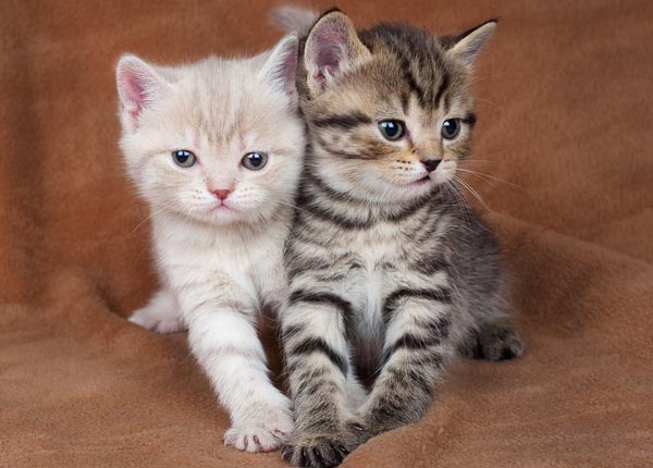 8-2-kittens shutterstock_95676709