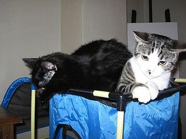 Cat-Dandy-KitTea-Sophie+Shadow.jpg