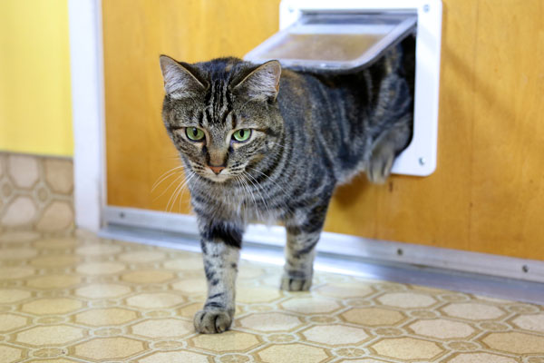 A brown tabby cat emerging from a cat door.
