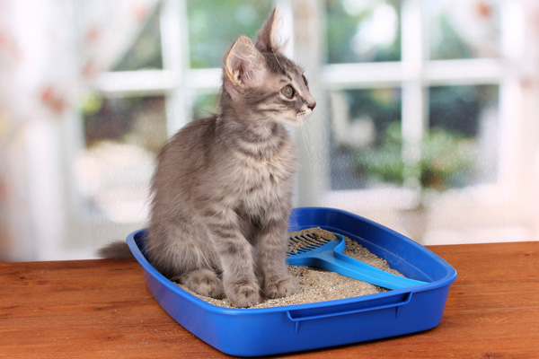 A small tabby cat kitten in a blue litter box.