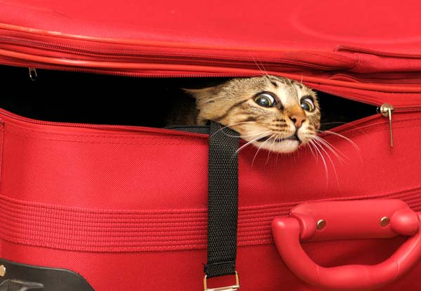Some cats are stressed when their owners go on vacation. Cat in suitcase by Shutterstock