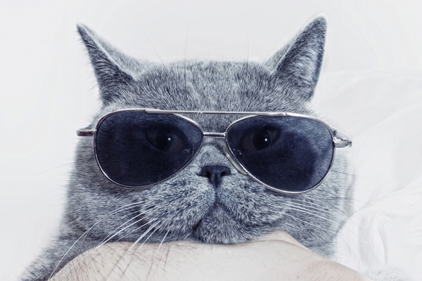 Gray cat in sunglasses.