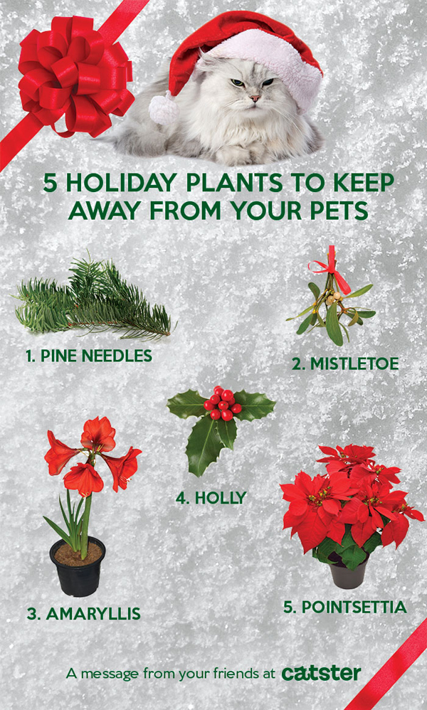 other flora that people shouldnt give to cat families are star of bethlehem eucalyptus jerusalem cherry english ivy christmas rose narcissus - Are Christmas Trees Poisonous To Cats