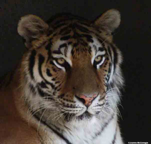 5 Simple Things You Can Do to Help Save Wild Tigers - Catster