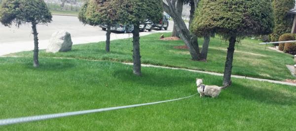 GC-on-leash-in-yard.jpg