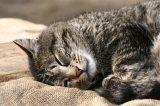 Gray tabby cat sleeping.