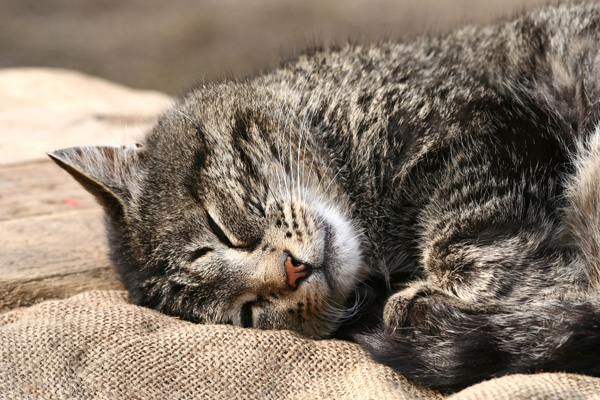 Gray tabby cat sleeping.
