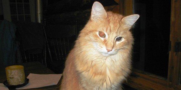 An orange tabby cat.