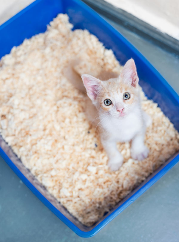 A cute orange and white cat in a litter box.
