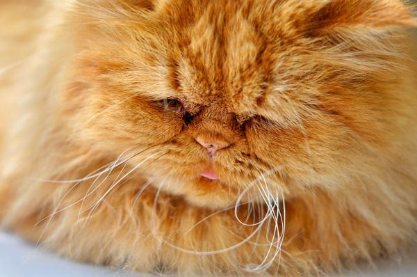 A close up of a fluffy orange cat.