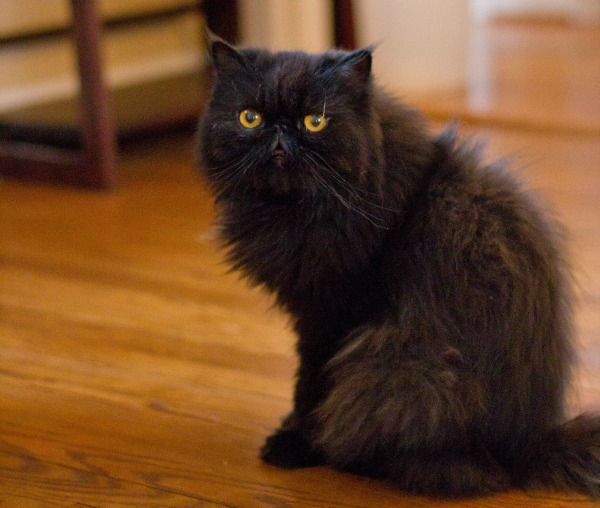 How to Get Your Cat Certified as a Therapy Cat - Catster