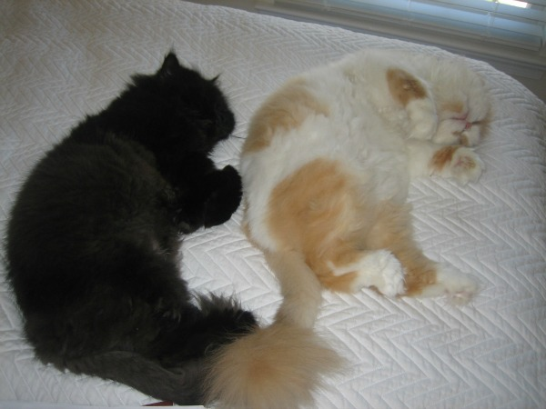 Two fluffy Persian cats.