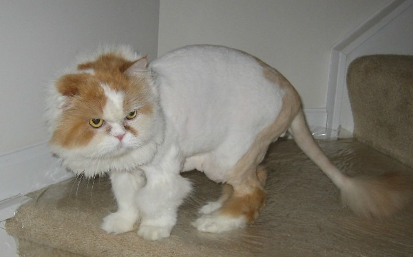 A Persian cat with a lion cut.