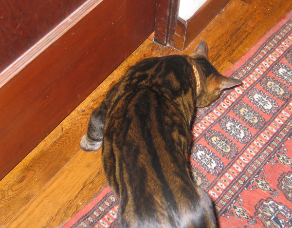 A brown tabby cat being curious.