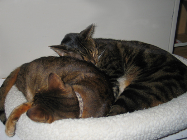 Two cats snuggling and sleeping together.