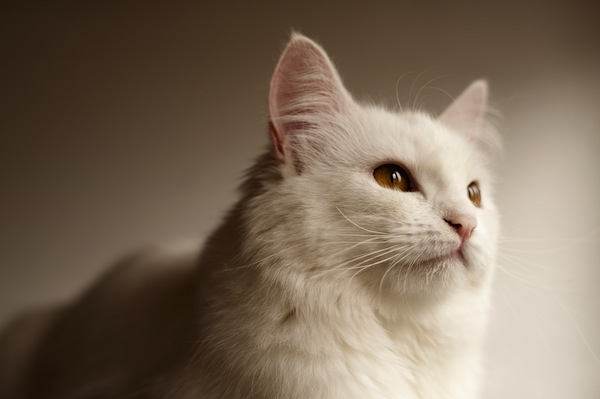 A white Persian cat.
