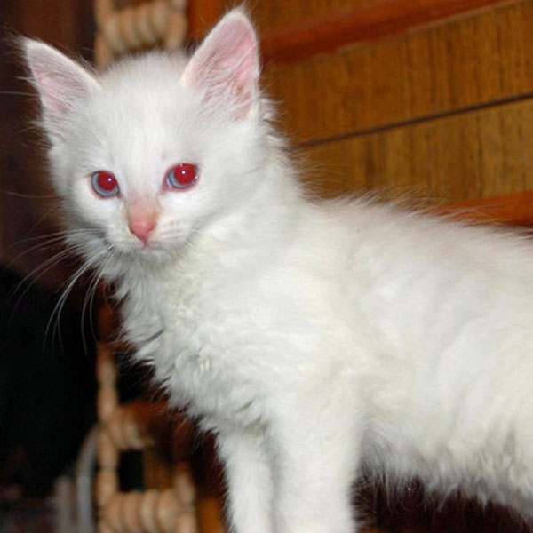 The Difference Between An Albino Cat And A White