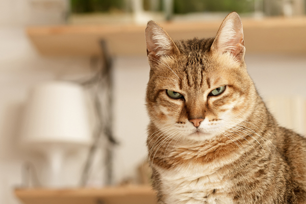 An angry cat with flattened ears.
