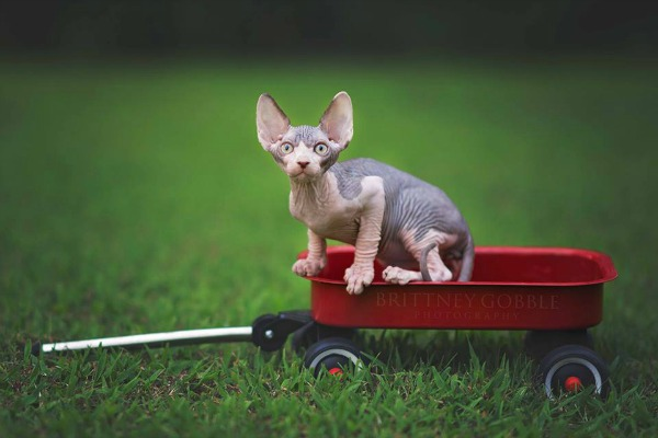 A Sphynx cat outside in a wagon.