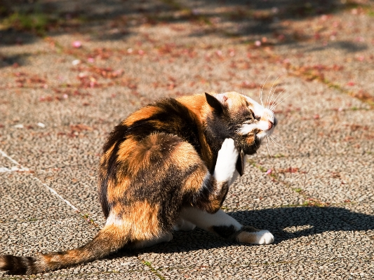 A calico cat scratching outdoors.