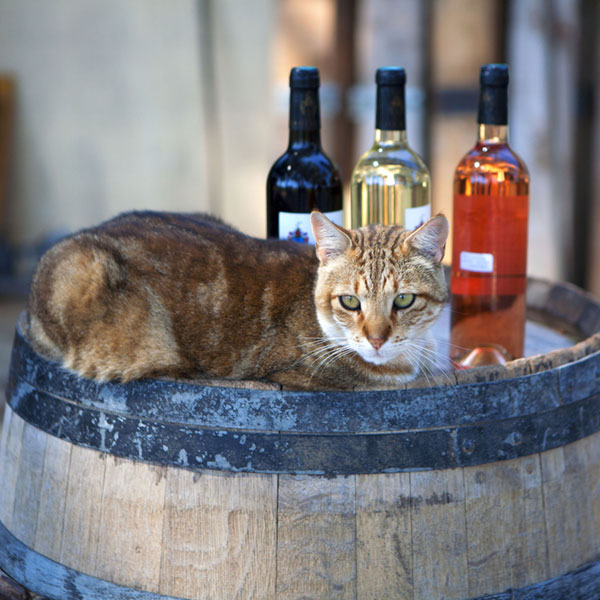 What To Do If Cat Drink Alcohol