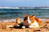 A ginger and white cat relaxing at the beach.