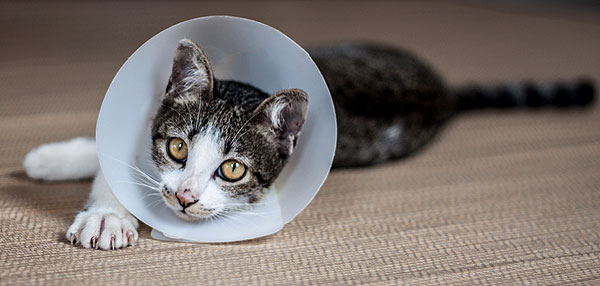 Does The Cone Of Shame Transform Your Cat Catster
