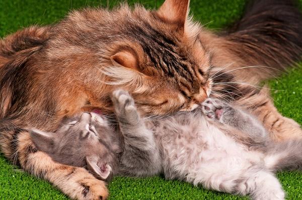 Cat grooming her kitten by Shutterstock