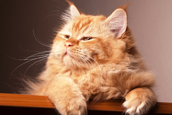 A happy orange tabby cat.