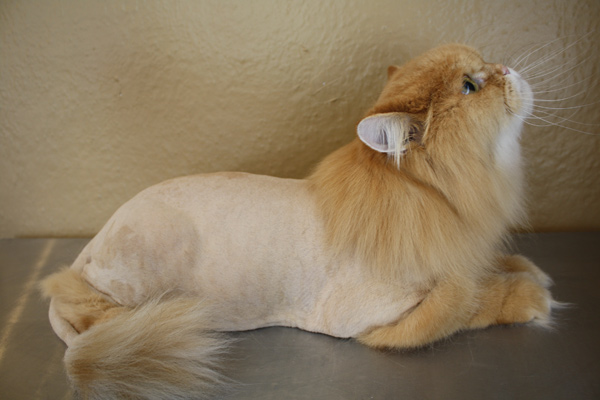 The National Cat Groomers Insute Of America Inc Was Founded In 2007 To Better Educate Pet On Techniques And Grooming Options That Are